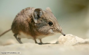 The Elephant Shrew
